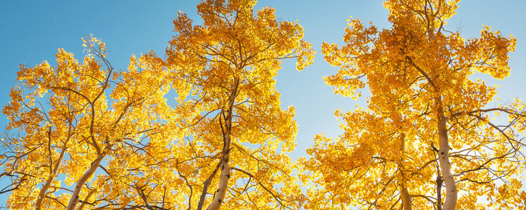 Aspen Trinity - Archival Pigment Print on Canvas - 24 x 60 inches